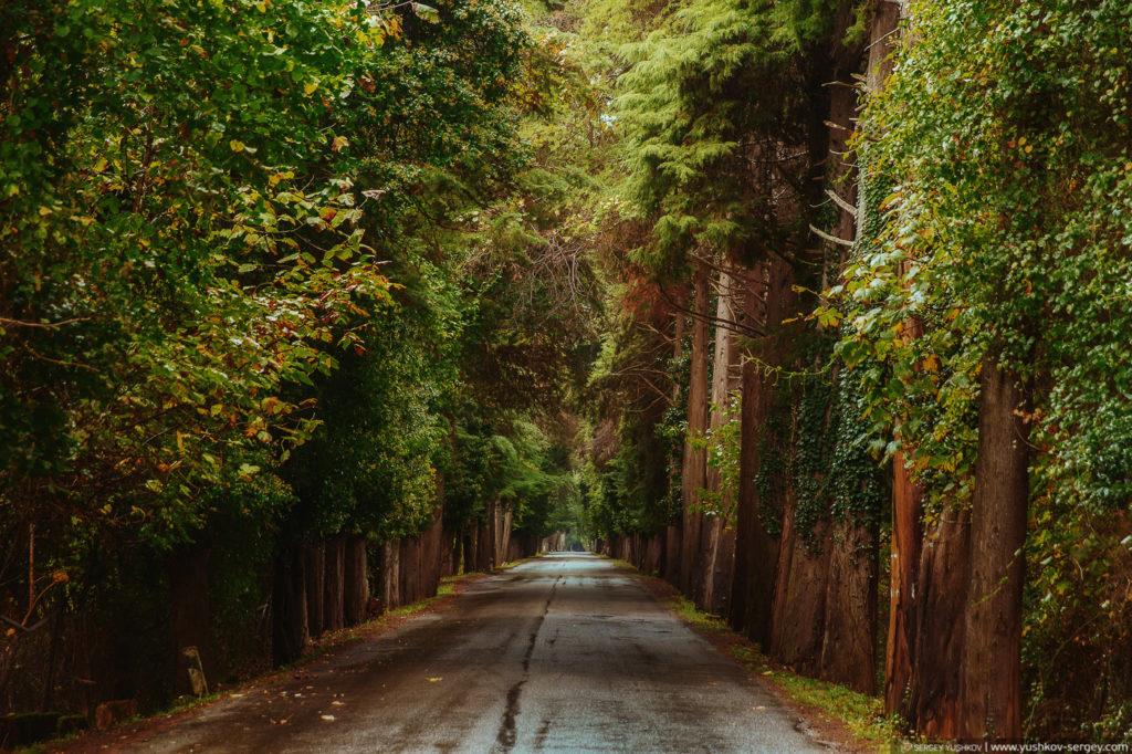 Дорога в Пицунду. Лес.