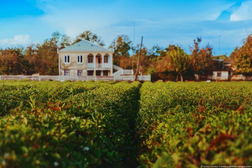 Чайная плантация Гудауты. Абхазия