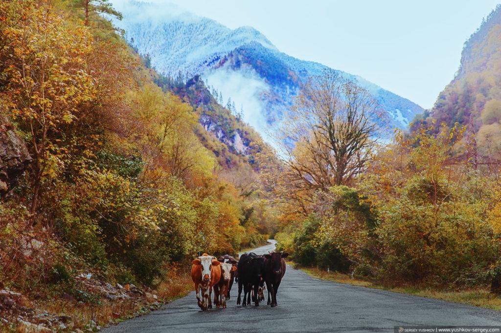 Коровы на дорогах Абхазии