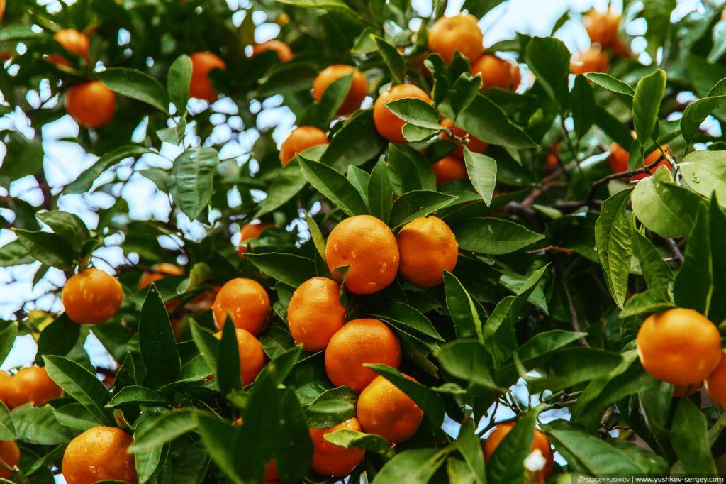 Мандарины на дереве. Абхазия
